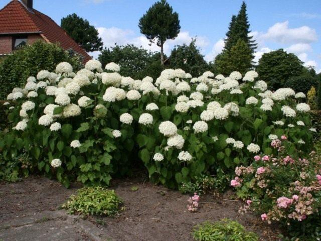 hydrangea-arborescens-02-640x480-1-4222419
