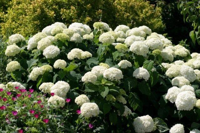 hydrangea-arborescens-03-640x426-1-5687529