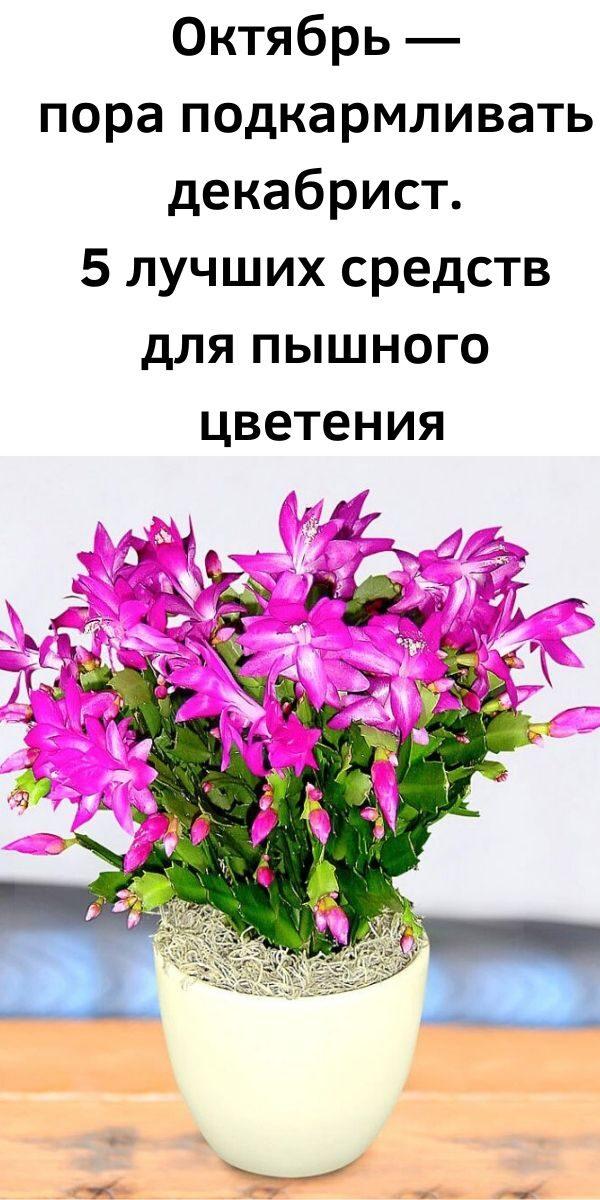 oktyabr-pora-podkarmlivat-dekabrist-5-luchshih-sredstv-dlya-pyshnogo-tsveteniya-5474702